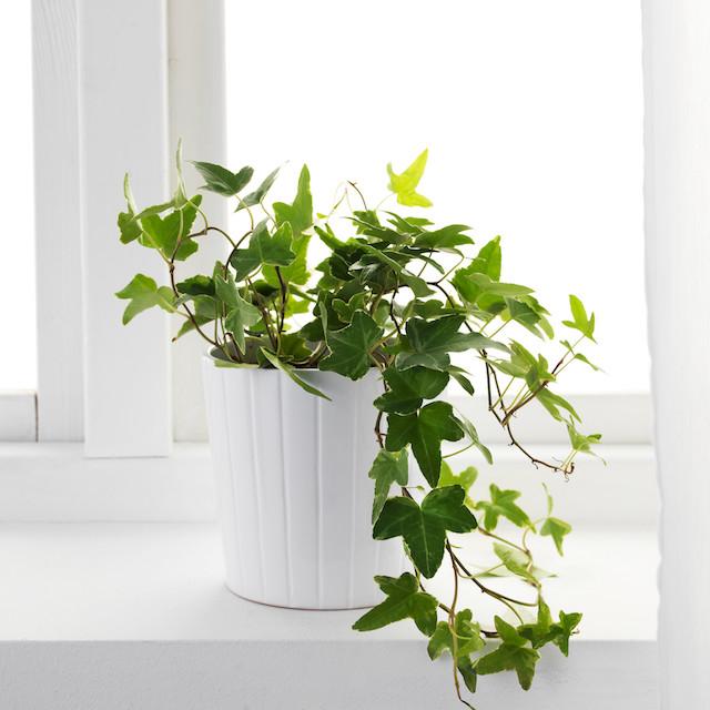 Ямар цэцэг тарих вэ: Цэвэр агаар бэлэглэдэг хамгийн супер ургамлууд (фото 2)