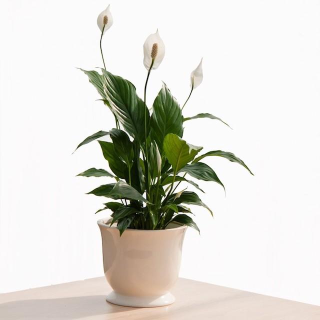 Ямар цэцэг тарих вэ: Цэвэр агаар бэлэглэдэг хамгийн супер ургамлууд (фото 4)